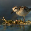 Jespak maly - Calidris minuta - Little Stint 1658