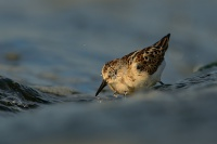 Jespak maly - Calidris minuta - Little Stint 2403