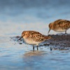 Jespak maly - Calidris minuta - Little Stint 7900
