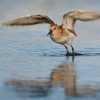 Jespak maly - Calidris minuta - Little Stint 7924