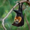 Kalon australsky - Pteropus poliocephalus - Gray-headed Flying Fox o1668