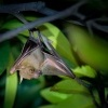 Kalon ramenaty - Cynopterus brachyotis - Lesser Short-nosed Fruit Bat o4121