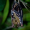 Kalon ramenaty - Cynopterus brachyotis - Lesser Short-nosed Fruit Bat o4180