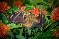 Kalon ramenaty - Cynopterus brachyotis - Lesser Short-nosed Fruit Bat o4450