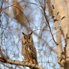 Kalous usaty - Asio otus - Long-eared Owl 5611