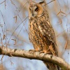 Kalous usaty - Asio otus - Long-eared Owl 5614