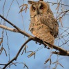 Kalous usaty - Asio otus - Long-eared Owl 5619