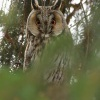 Kalous usaty - Asio otus - Long-eared Owl 6967