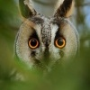 Kalous usaty - Asio otus - Long-eared Owl 8914u