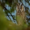 Kalous usaty - Asio otus - Long-eared Owl 9022u