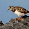 Kamenacek pestry - Arenaria interpres - Ruddy Turnstone 2968