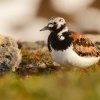 Kamenacek pestry - Arenaria interpres - Ruddy Turnstone 8404