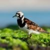 Kamenacek pestry - Arenaria interpres - Ruddy Turnstone o1009