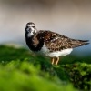 Kamenacek pestry - Arenaria interpres - Ruddy Turnstone o1035