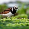 Kamenacek pestry - Arenaria interpres - Ruddy Turnstone o1187