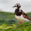 Kamenacek pestry - Arenaria interpres - Ruddy Turnstone o1192