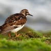 Kamenacek pestry - Arenaria interpres - Ruddy Turnstone o1481