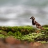 Kamenacek pestry - Arenaria interpres - Ruddy Turnstone o3190