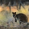 Klokan bazinny - Wallabia bicolor - Swamp Wallaby 6593