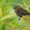 Knezik promenlivy - Sporophila corvina - Black (Variable) Seedeater o2116