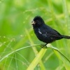 Knezik promenlivy - Sporophila corvina - Black (Variable) Seedeater o2137