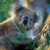 Koala - Phascolarctos cinereus o2789