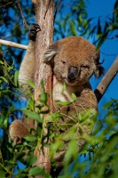 Koala - Phascolarctos cinereus o4057