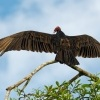 Kondor krocanovity - Cathartes aura - Turkey Vulture 8599