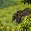 Kondor krocanovity - Cathartes aura - Turkey Vulture 8684