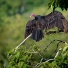 Kondor krocanovity - Cathartes aura - Turkey Vulture o2388