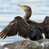 Kormoran velky - Phalacrocorax carbo - Great Cormorant 9945