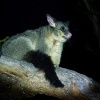 Kusu lisci - Trichosurus vulpecula - Common Brush-tailed Possum o4330