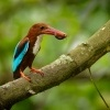 Lednacek hnedohlavy - Halcyon smyrnensis - White-throated Kingfisher 9224