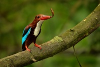 Lednacek hnedohlavy - Halcyon smyrnensis - White-throated Kingfisher 9228