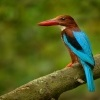 Lednacek hnedohlavy - Halcyon smyrnensis - White-throated Kingfisher 9259