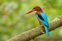 Lednacek hnedohlavy - Halcyon smyrnensis - White-throated Kingfisher 9260