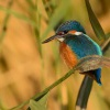 Lednacek ricni - Alcedo atthis - Common Kingfisher 0286