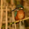 Lednacek ricni - Alcedo atthis - Common Kingfisher 0333