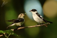 Lejsek belokrky - Ficedula albicollis - Collared Flycatcher 6147