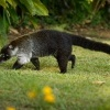 Nosal belohuby - Nasua narica - White-nosed Coati 5463