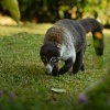 Nosal belohuby - Nasua narica - White-nosed Coati 5464