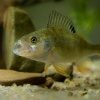 Okoun ricni - Perca fluviatilis - English Perch 4092