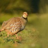 Orebice ruda - Alectoris rufa - Red-legged Partridge 2759