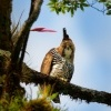 Orel ozdobny - Ornate hawk-eagle - Spizaetus ornatus o2169