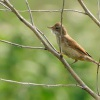 Penice hnedokridla - Sylvia communis - Greater Whitethroat 5067