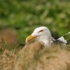 Racek morsky - Larus marinus - Great Black-backed Gull 3348