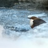 Skorec vodni - Cinclus cinclus - White-throated Dipper 3141u