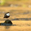 Skorec vodní - Cinclus cinclus - White-throated Dipper 6760