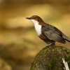 Skorec vodní - Cinclus cinclus - White-throated Dipper 6706