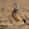 Skrivan dudkovity - Alaemon alaudipes - Greater Hoopoe-Lark o0125